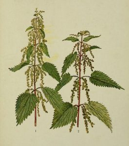 Stinging nettle botanical illustration