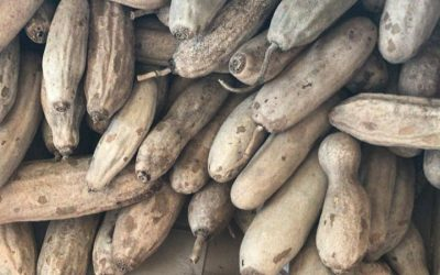 The Sausage Tree – Traditional Uses & Clinical Evidence